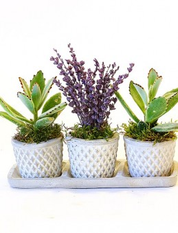 3 lü Beton Saksıda Kalanchoeler ve Lavanta  çiçek gönder