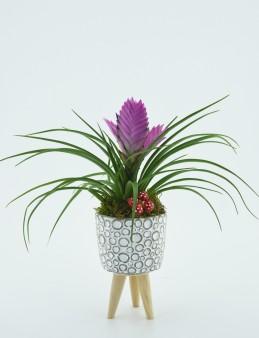 Tillandsia Saksı çiçeği  çiçek gönder