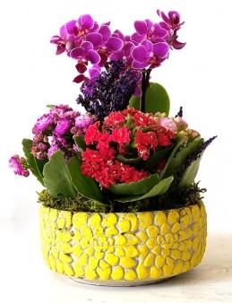 Beton Saksıda Mini Orkide ve Kalanchoeler  çiçek gönder