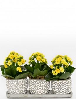 Trio Plus Kelebek Serisi Kalanchoe  çiçek gönder