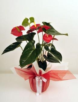 Saksıda  Antoryum Çiçeği  çiçek gönder