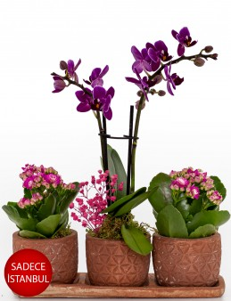 Renkli Trio Plus Serisi Kalanchoe ve Mini Orkide Orkideler çiçek gönder