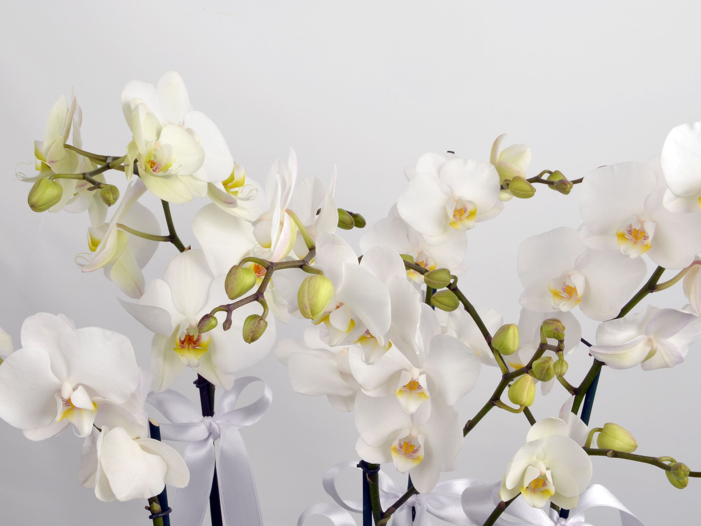 Orkide uygun sulanma başarıya giden yol