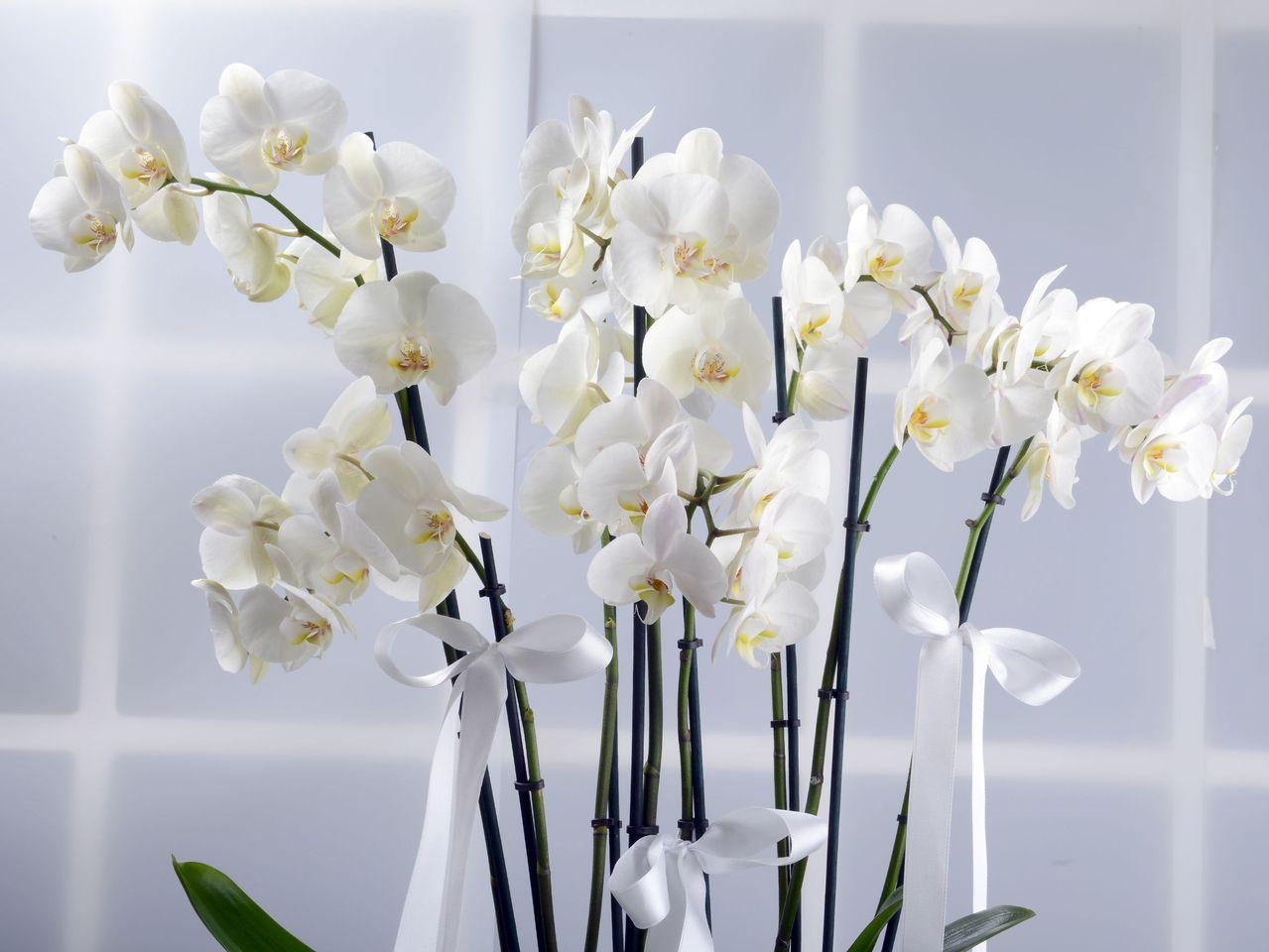 Bir Dünya Mutluluk, 8 Dallı Orkide Çiçeği Orkideler çiçek gönder