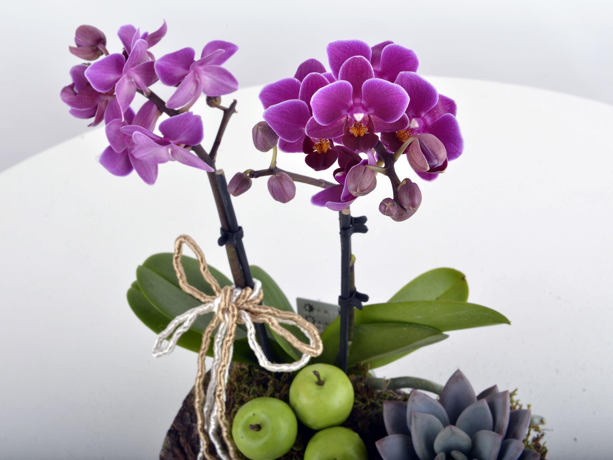 Toprak Kokusu Minyatür Orkide Terarium çiçek gönder
