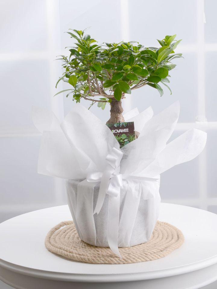 Manolya Bonzai Saksı Çiçekleri çiçek gönder