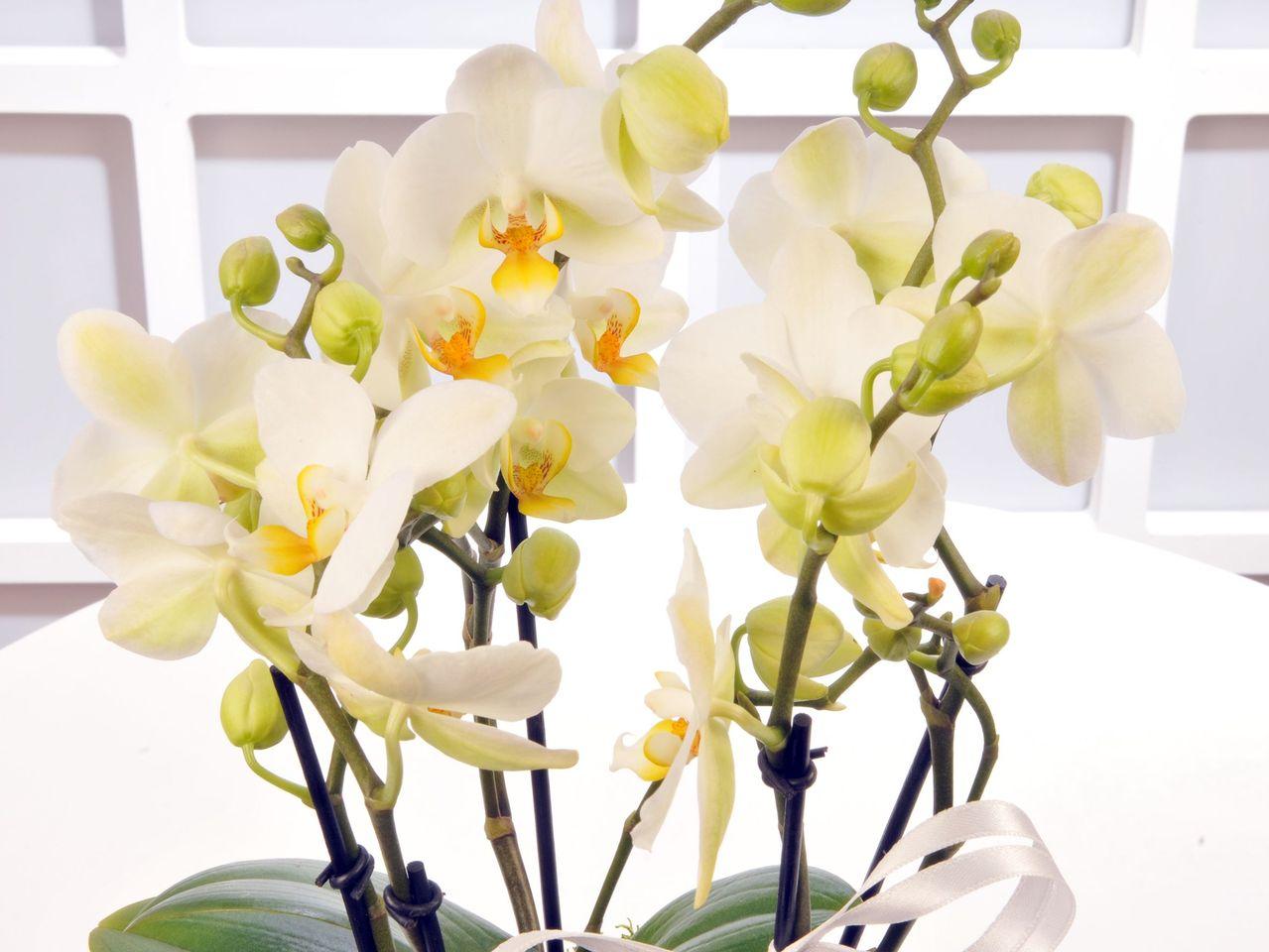 Buogetto Beyaz Orkide Orkideler çiçek gönder