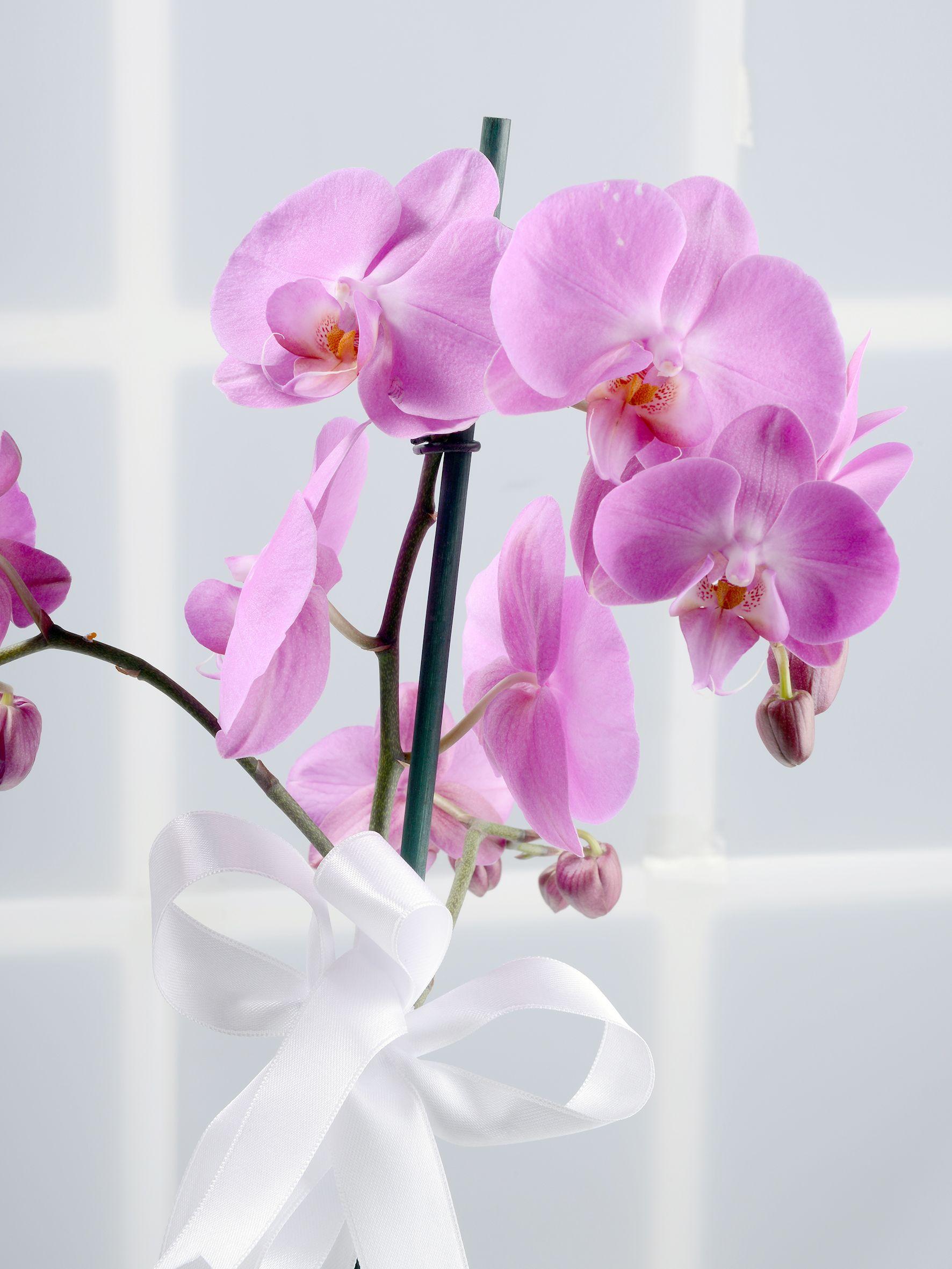 Çift Dallı Pembe Orkide Çiçeği.. Orkideler çiçek gönder