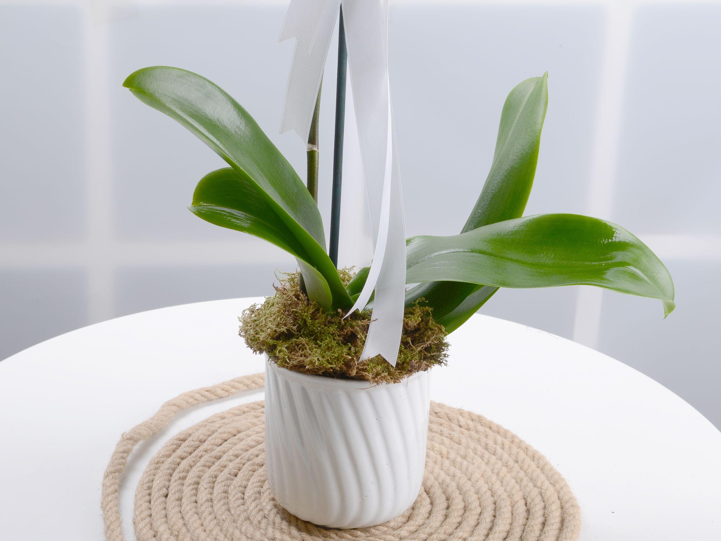 Tek Dallı Beyaz Orkide Çiçeği. Orkideler çiçek gönder
