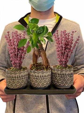 Üçlü Saksıda Ficus Bonsai ve Lavanta Saksı Çiçekleri çiçek gönder