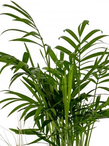 Dağ Palmiyesi ve Ekeberya Bitki Aranjmanı. Saksı Çiçekleri çiçek gönder