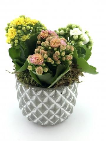 Renkli Kalanchoe Saksı Çiçekleri Saksı Çiçekleri çiçek gönder