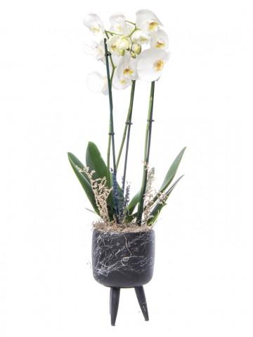Auctore Serisi Orkide Tasarım Orkideler çiçek gönder