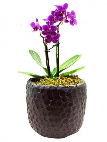 Siyah Taş Saksıda İki Dal Mini Orkide Orkideler çiçek gönder