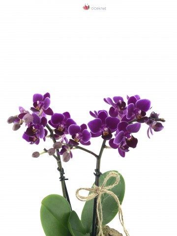 Kütükte Minyatür Orkide Orkideler çiçek gönder
