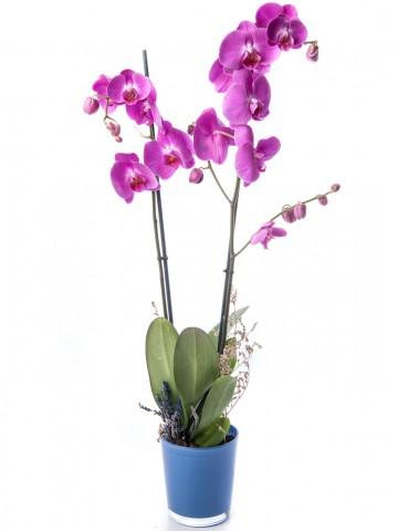Eddar Serisi Mor Orkide Tasarım Orkideler çiçek gönder