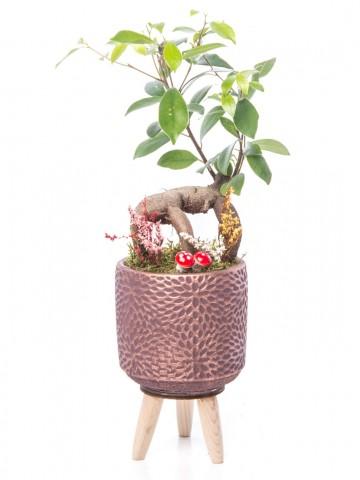 Auctore Serisi Ficus Gİnseng Bonsai Tasarım Saksı Çiçekleri çiçek gönder