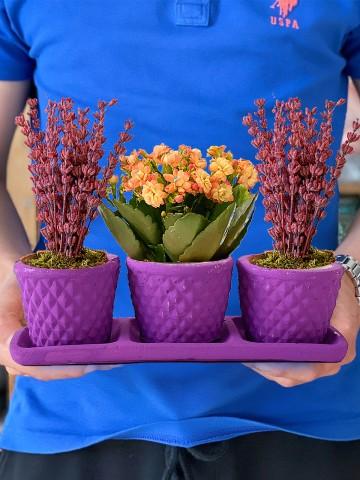Bahar Kokusu 3'lü Bitki Seti Saksı Çiçekleri çiçek gönder