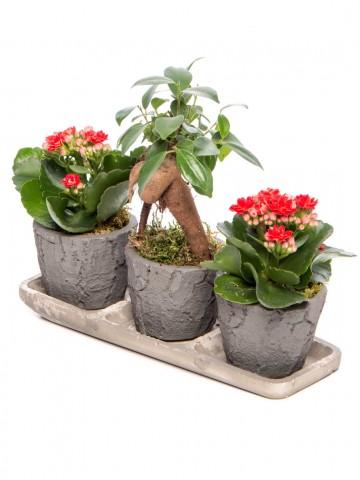 Trio Serisi Ficus Ginseng Bonsai Tasarım Saksı Çiçekleri çiçek gönder