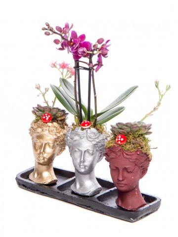 Trio Picta Hero Mini Orkide Tasarım Orkideler çiçek gönder