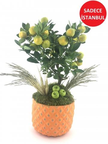 Minyatür Mandalina Ağaçı  Saksı Çiçekleri çiçek gönder