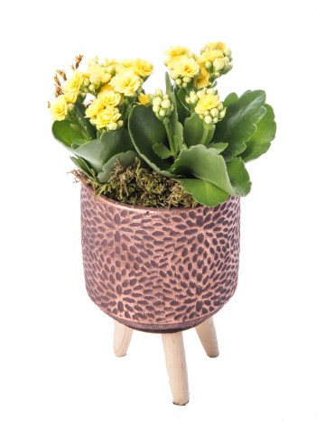Auctore Serisi Kalanchoe Tasarım Saksı Çiçekleri çiçek gönder