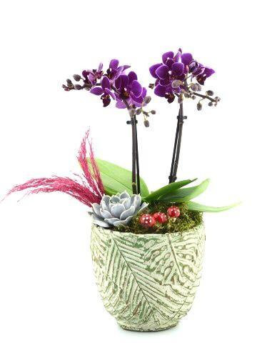 Minyatür Orkide Tasarımı Orkideler çiçek gönder
