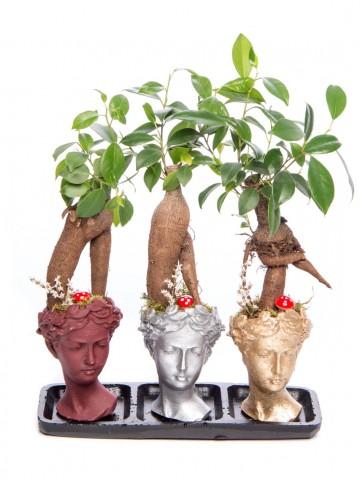 Trio Picta Hero Ficus Ginseng Bonsai Tasarım Saksı Çiçekleri çiçek gönder