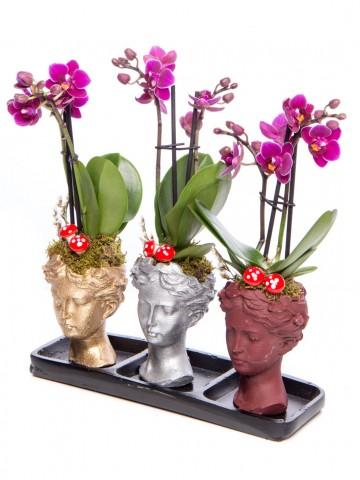 Trio Picta Hero Mini Mor Orkide Tasarım Orkideler çiçek gönder