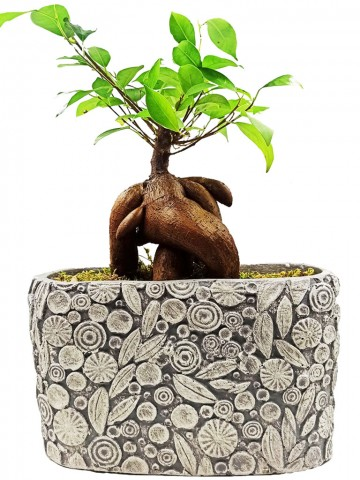 Dekoratif Motif Saksıda Ficus Bonsai Saksı Çiçekleri çiçek gönder