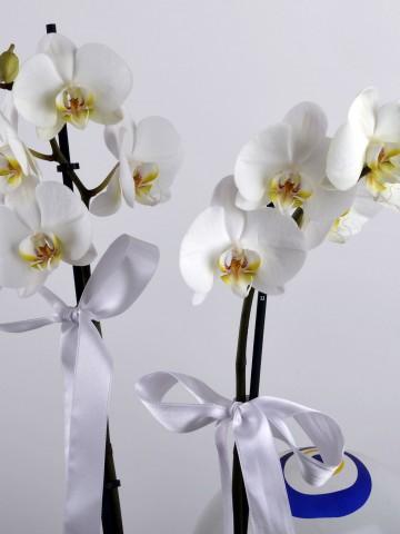 Güzel Bir Başlangıç Orkide Çiçeği Orkideler çiçek gönder