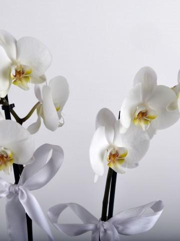 Çift Dallı Beyaz Orkide Çiçeği Orkideler çiçek gönder