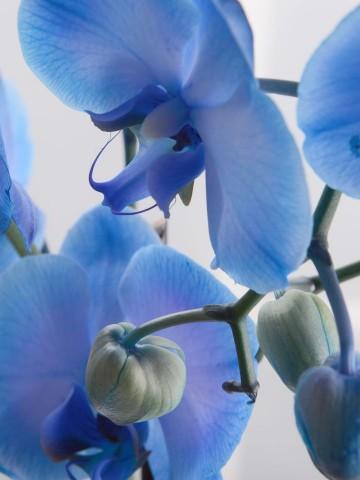 Masmavi Saksı Orkide Orkideler çiçek gönder