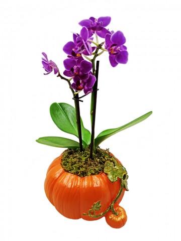 Kabak Saksıda Mini Orkide  Orkideler çiçek gönder
