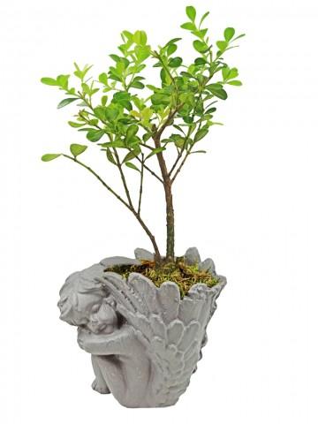 Melek Saksıda Buxus Bonsai Saksı Çiçekleri çiçek gönder