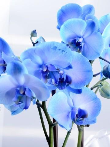 Hayalperest Mavi Orkide Çiçeği Orkideler çiçek gönder