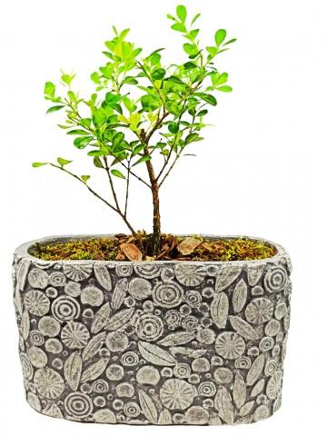 Dekoratif Motif Saksıda Buxus Bonsai Saksı Çiçekleri çiçek gönder