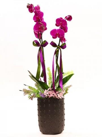 Siyah Vazoda Çift Dallı Orkide Orkideler çiçek gönder
