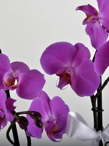 Paketli Mor Orkide Orkideler çiçek gönder