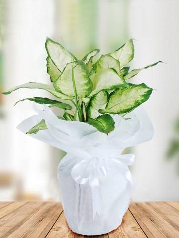 Tropik Saksı Çiçekleri çiçek gönder