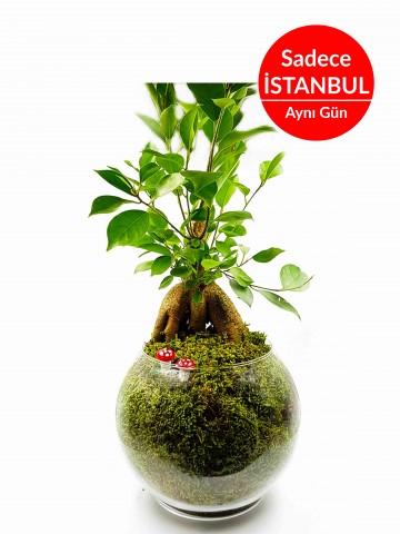 Asil Bonsai (Yapay) Terarium çiçek gönder
