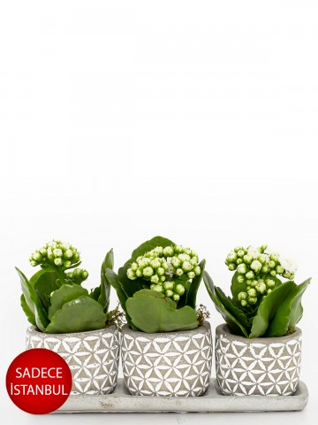Trio Plus Serisi Beyaz Kalanchoe Bitkisi Saksı Çiçekleri çiçek gönder
