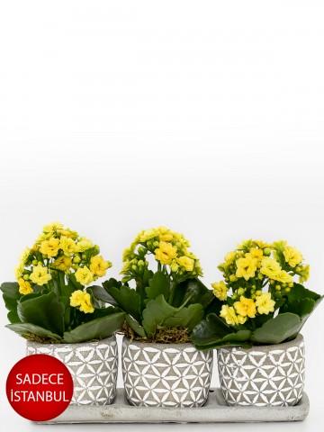Trio Plus Kelebek Serisi Kalanchoe Saksı Çiçekleri çiçek gönder