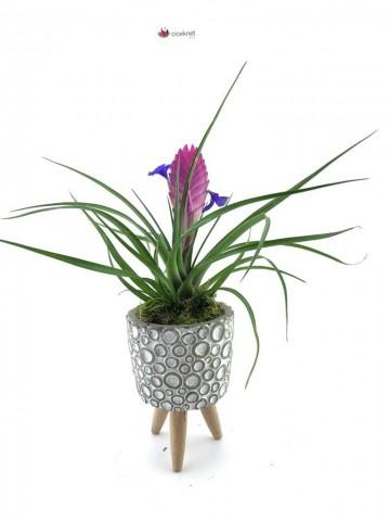 Baloncuk 3 Ayaklı Saksı da Doğal Tillandsia Bitkisi Saksı Çiçekleri çiçek gönder