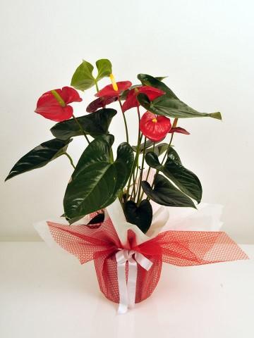 Saksıda Antoryum Bitkisi Saksı Çiçekleri çiçek gönder