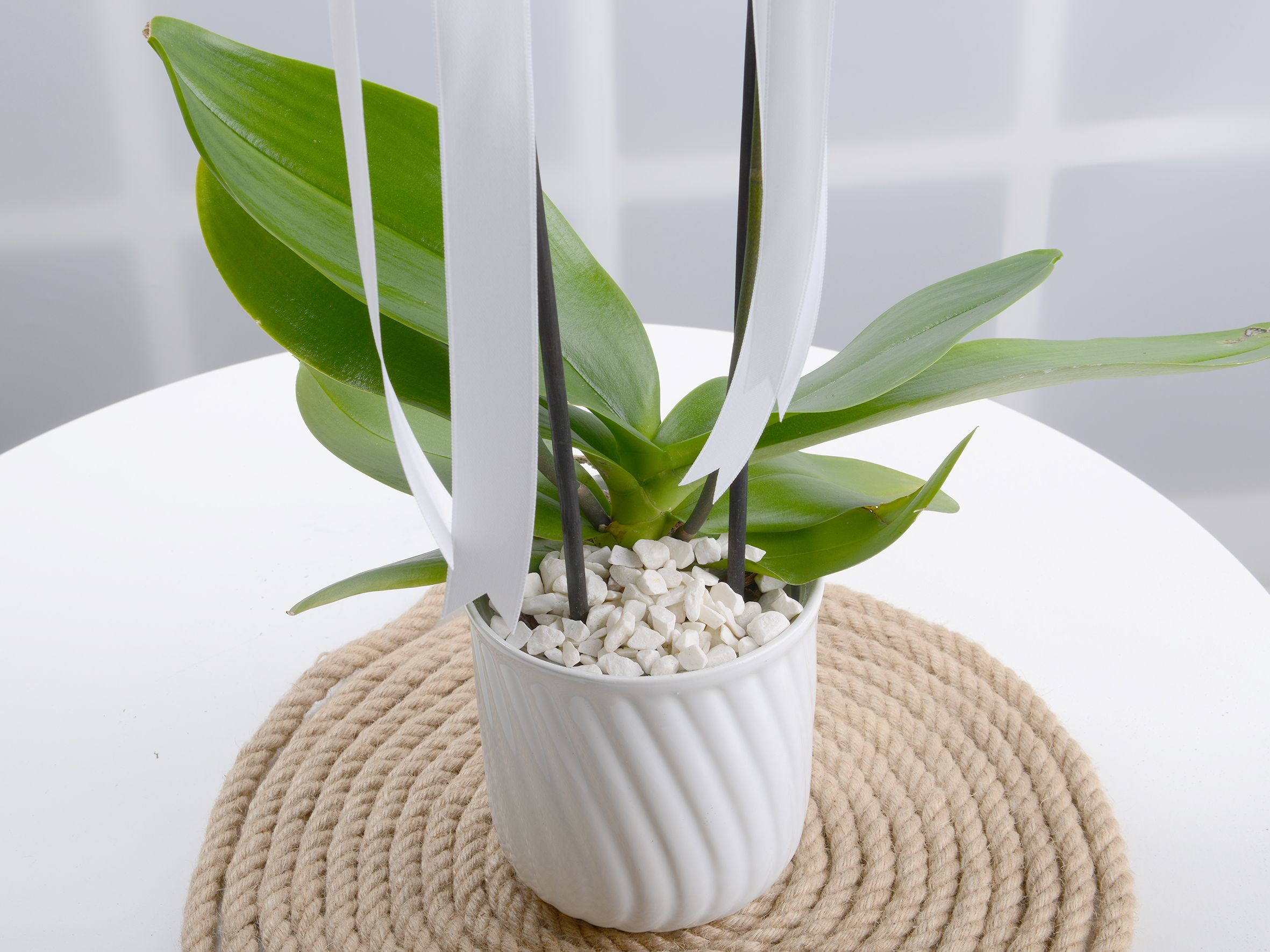 Masumiyet Timsali Beyaz Orkide..  çiçek gönder
