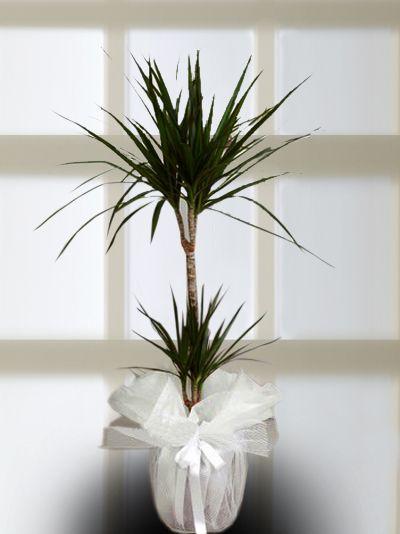 2'li Drecana Marginata.Saksı Çiçeği Saksı Çiçekleri çiçek gönder