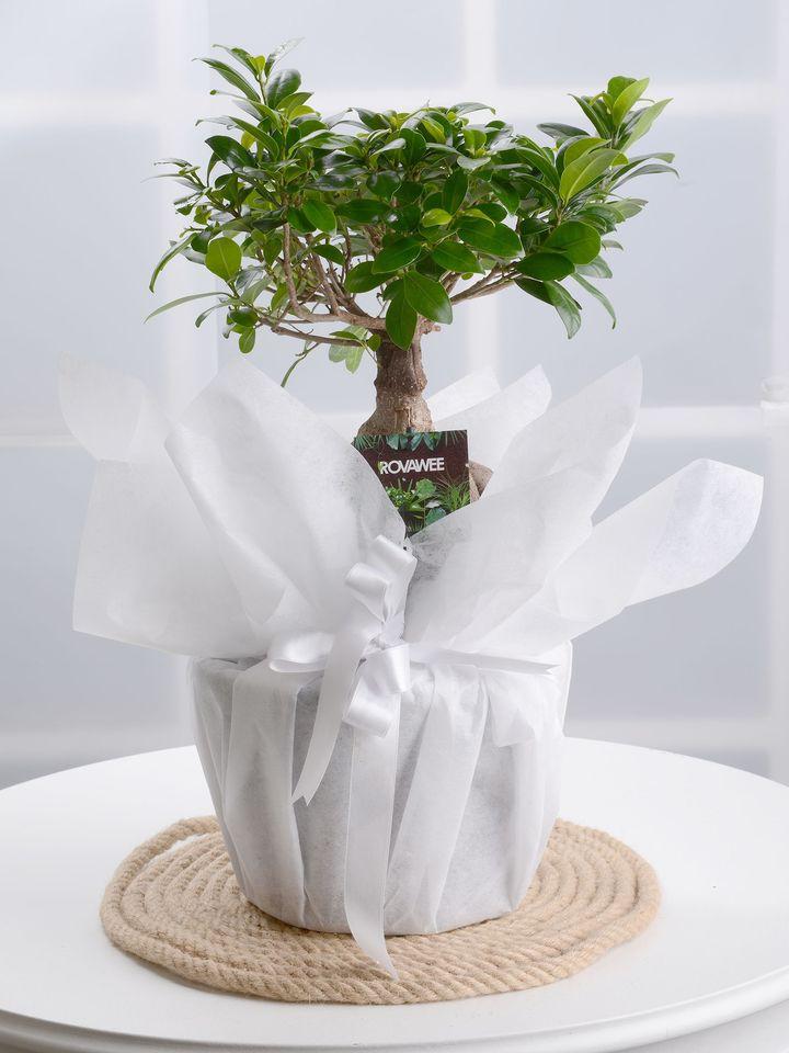 Manolya Bonzai  çiçek gönder