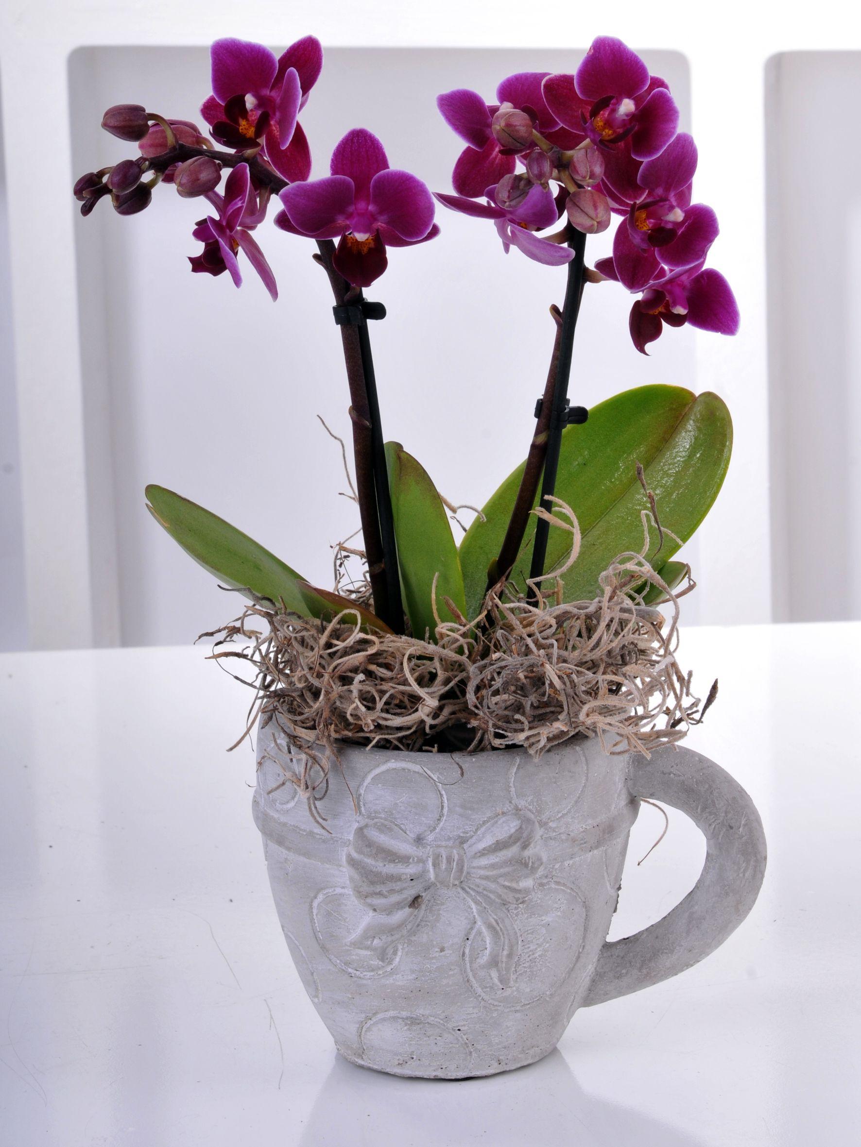 2 Dallı Minyatür Orkide  çiçek gönder
