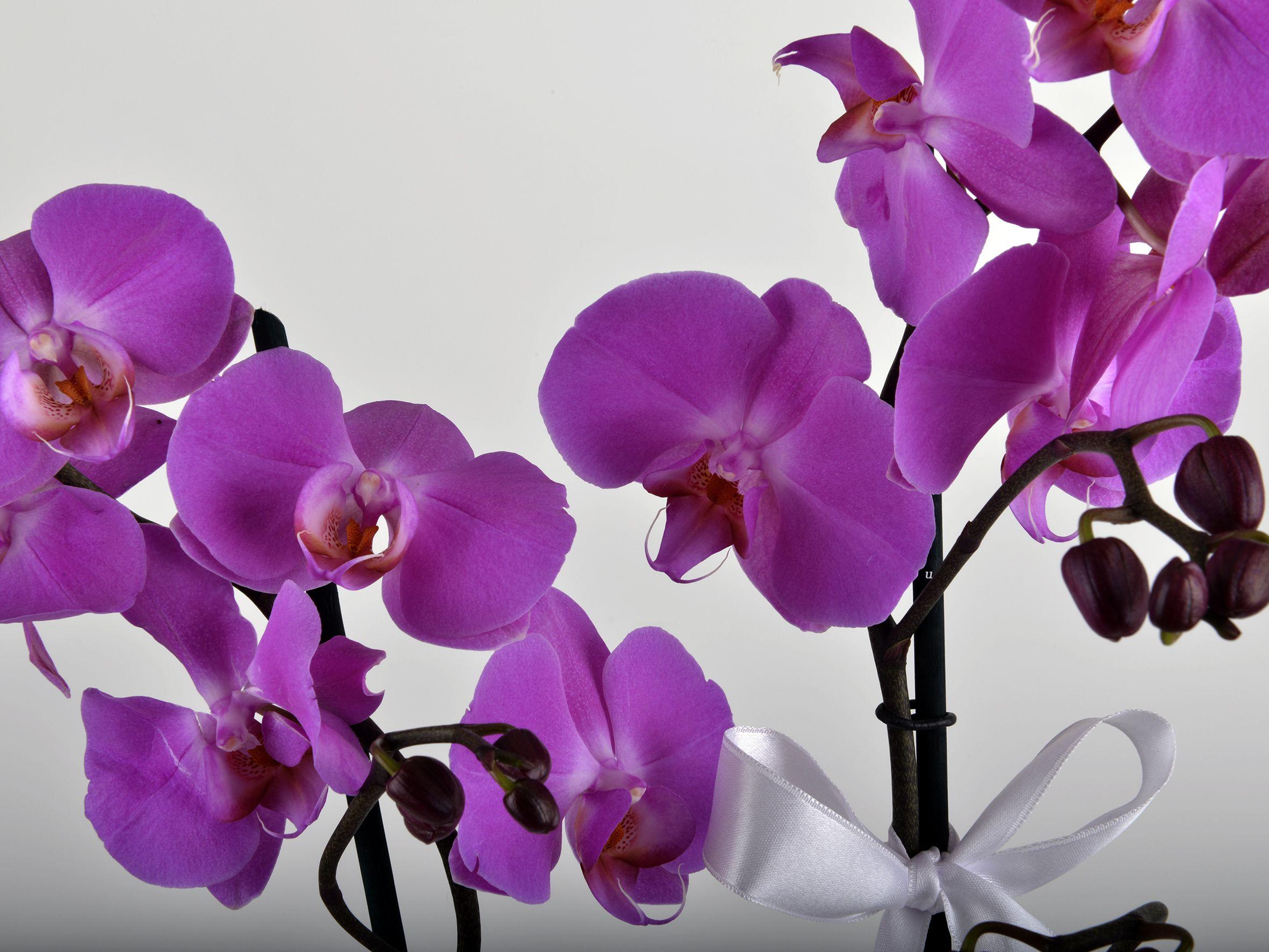 İkili Mor Orkide Çiçeği Orkideler çiçek gönder